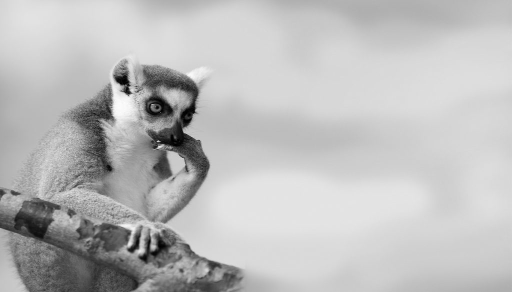 Mono image of animal in a tree