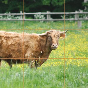 Good example of rule of thirds showing the cow to the left